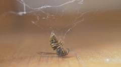 Wasp caught in a spider web (David versus Goliath) Stock Footage