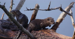 Baby otter gnaws on branch of dead log in pond while others play in pond Stock Footage