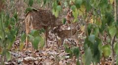 Deer in nature, Sambhal in India Stock Footage