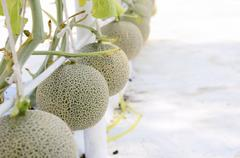 Cantaloupe melon growing in a greenhouse Stock Photos