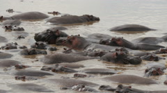 Big group of hunderds hippopotamus lying in a riverbed patched together - 4K Stock Footage