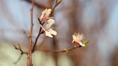 Flowering apricot tree sways in the wind Stock Footage