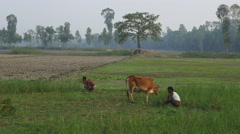 Farmers in rural Bangladesh harvest a failed rice crop Stock Footage