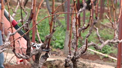 Pruning vines Madeira - Portugal: vine transplantation. Stock Footage
