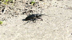 Black Bug, Insects Black beetle crawling on grass Macro Hd Stock Footage
