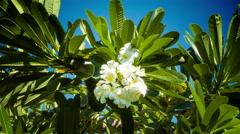 Franjipani flowers Stock Footage