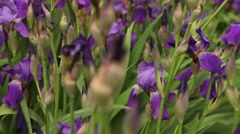 Flowerbed with purple irises blooming Stock Footage