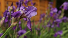 flowerbed with purple irises blooming - stock footage