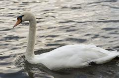 White swan with a long neck - stock photo