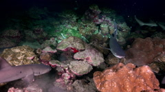 Whitetip Reef sharks At Nighth In search of food. - stock footage