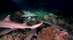 Whitetip Reef sharks At Nighth In search of food. Stock Footage