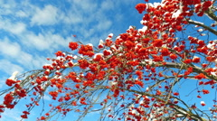 Rowanberry  in winter. Looking up through the rowan-tree branches and red  be Stock Footage