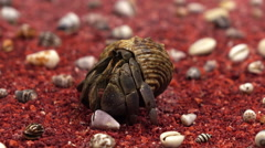 land hermit crab has got out of his shell - stock footage