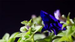 Opening Petunia Flower Stock Footage
