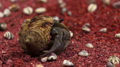 Land hermit crab crawls from its shell Stock Footage