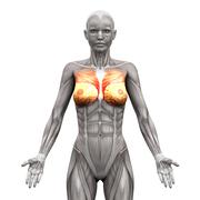 Chest Muscles - Pectoralis Major and Minor - Anatomy Muscles isolated on whit - stock illustration