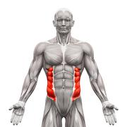 External Oblique Muscles - Anatomy Muscles isolated on white - 3D illustratio - stock illustration