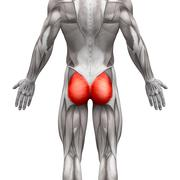 Gluteal Muscles / Gluteus Maximus - Anatomy Muscles isolated on white - 3D il Stock Illustration