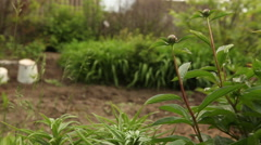 Tight buds pions sway in the wind. Stock Footage