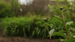 Wasp sitting on the tight buds pions Stock Footage