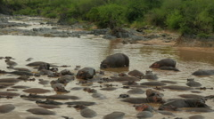 Big group of hunderds hippos lying in a riverbed patched together - 4K Stock Footage
