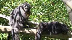 White-faced Saki monkeys relaxing on tree branch in sunny nature Stock Footage