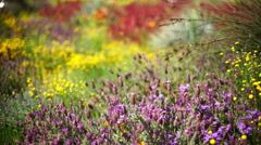 4K Spring Flowers 01 Lavendars Stock Footage