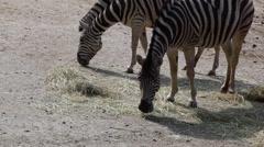 Burchell's zebra  eat hay. - stock footage