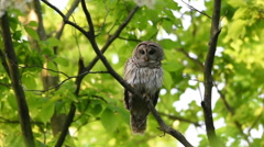 Barred owl perched in woods Stock Footage