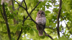 Barred owl in the woods Stock Footage