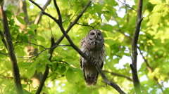 Barred owl hooting in woods Stock Footage