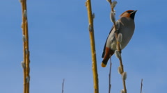 Waxwing sitting on pussy willow branch Stock Footage