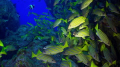 Yellow School Goatfish swims over rocky reef. - stock footage
