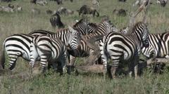 Zebra's ( Equus quagga) scratching - stock footage