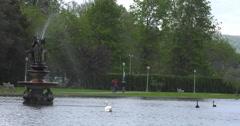 Black Swans Stock Footage