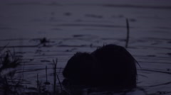 Coypu, River Rat, Nutria eating on the Danube riverside in the evening Stock Footage
