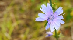 Flower of common chicory (Cichorium intybus) Stock Footage