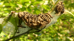 Thaumetopoea processionea caterpillars on leaf tree in summer Stock Footage