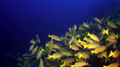 Yellow School Goatfish swims over rocky reef. Stock Footage