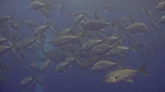 School Tuna fish swims in reef and in blue sea. - stock footage