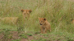 Close up of one large wild lioness with cub in Serengeti Tanzania Stock Footage