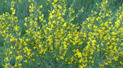 Yellow acacia - caragana arborescens.Yellow acacia branches swaying in the wi Stock Footage