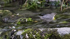 Dipper is catching invertebrates underwater into a creek Stock Footage