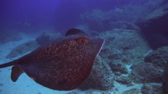 Black stingray swims over deep, rocky reef. Stock Footage