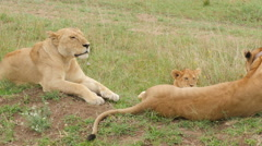 Close up of 2 large wild lionesses with cub in Serengeti Tanzania Stock Footage