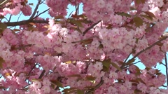 Background of cherry blossoms against the sky Stock Footage
