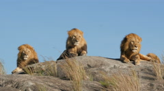 3 big male lions lying on the rocks in Serengeti national park Tanzania - 4K Stock Footage