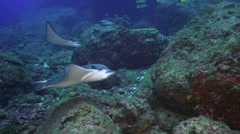 Spotted eagle ray swims on ocean floor. Stock Footage