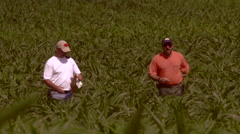 Farmer and consultant walk through corn field 00003 Stock Footage