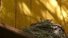 Three Chick blackbird in the nest on the house stick their beaks (view from belo Stock Footage